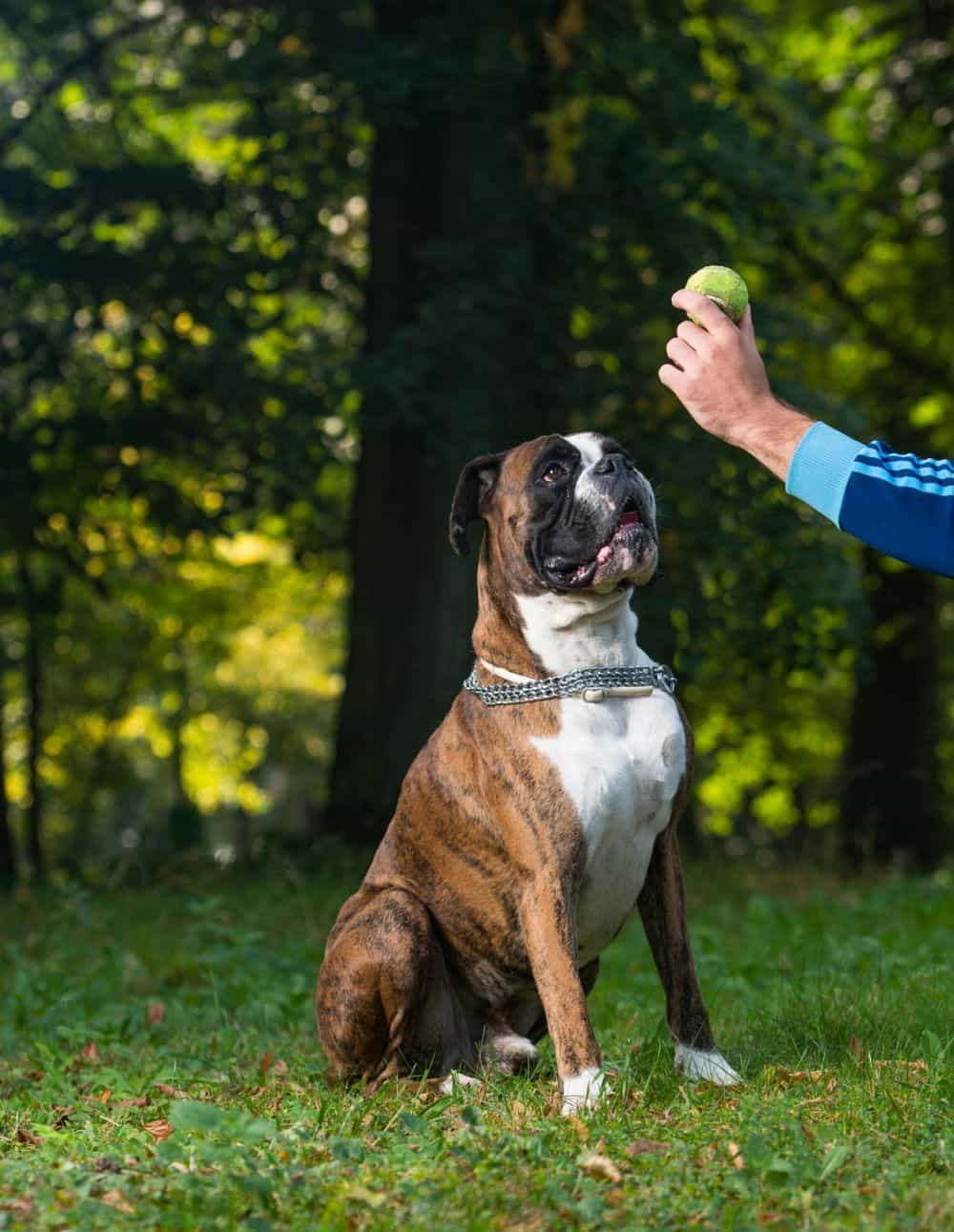 Boxer mit Apportieren beschäftigen
