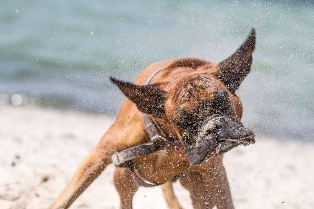 Boxer schüttelt sich am Strand