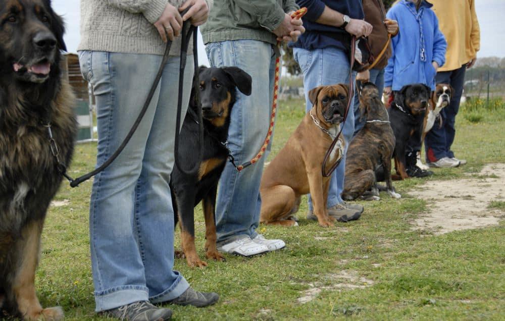 Deutscher Boxer in der Hundeschule