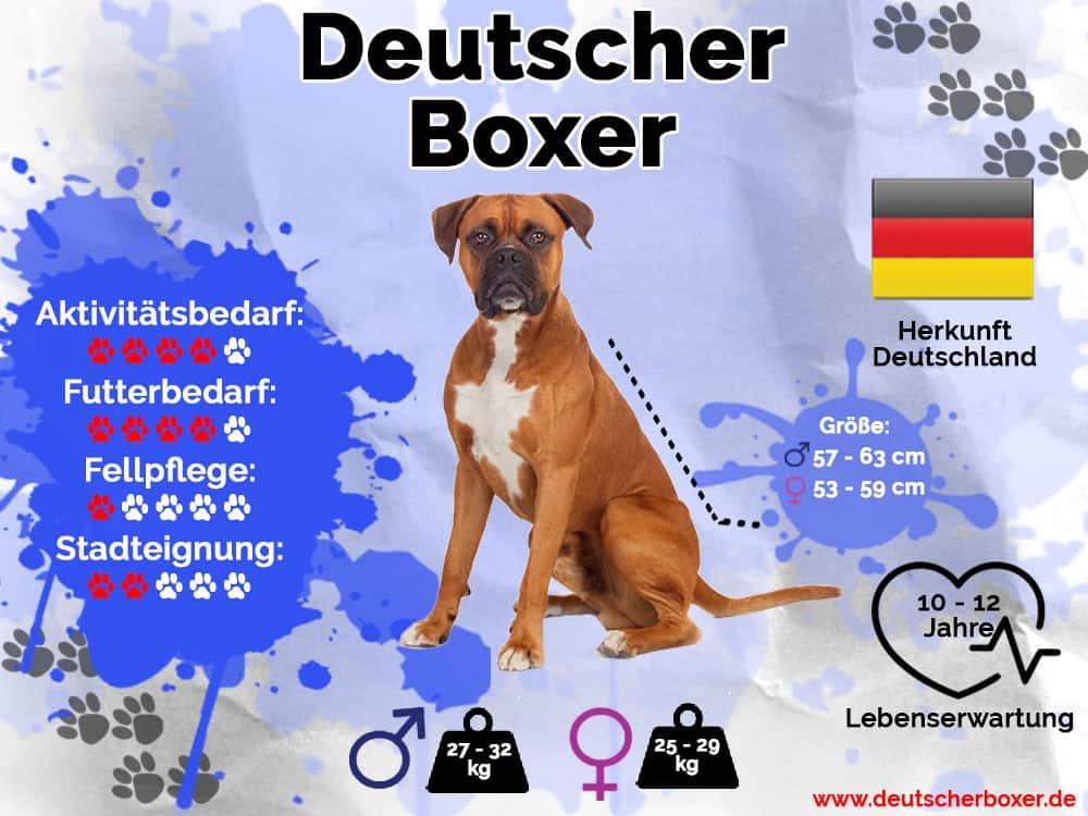 Deutscher Boxer Infografik mit Größe, Gewicht, Herkunft, Lebenserwartung, Aktivitätsbedarf, Futterbedarf, Fellpflege und Stadteignung