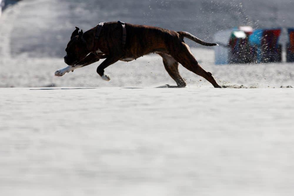 Deutscher Boxer auf Schnee