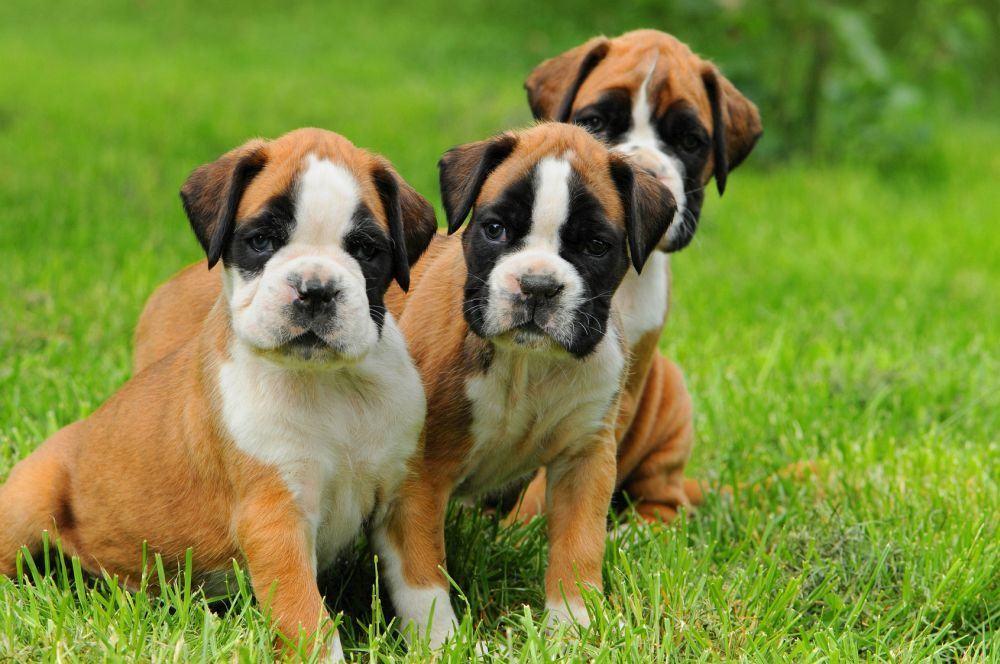 Drei deutsche Boxer Welpen