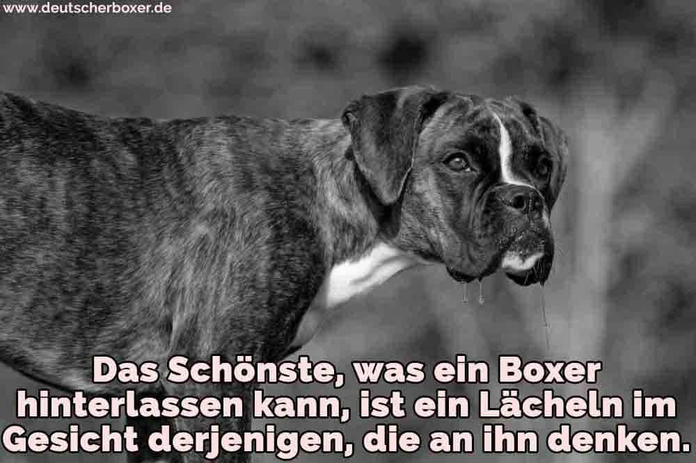Ein trauriger Boxer auf dem Rasen