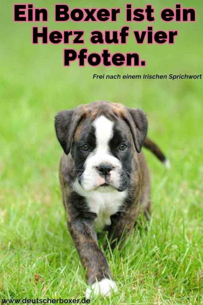 Ein Boxer Welpen im Gras