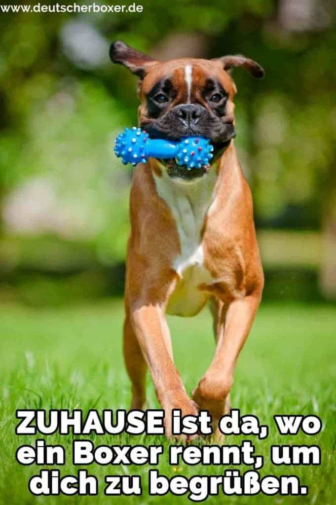 Ein Boxer mit einem Spielzeug in den Mund läuft