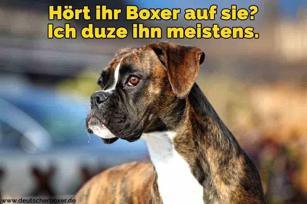 Ein trauriger Boxer