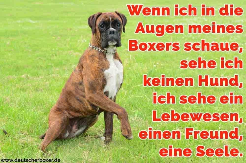 Ein Boxer sitzt auf dem Rasen