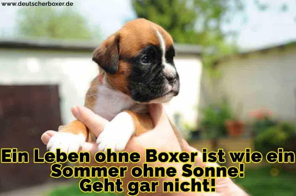 Ein Boxer Welpen