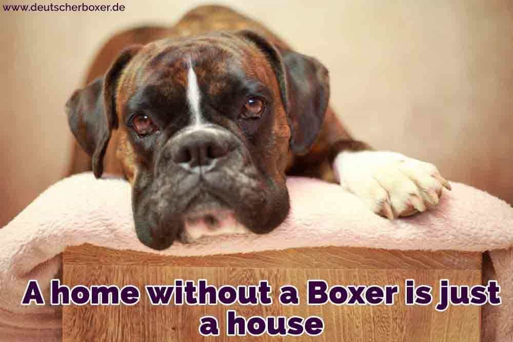 Ein Boxer auf dem Bett liegend