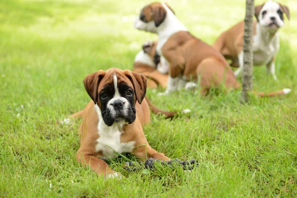 Deutscher Boxer Welpe im Gras
