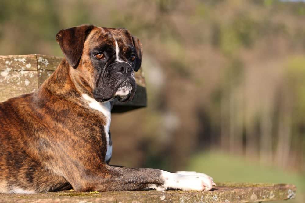 Boxer aus dem Tierheim