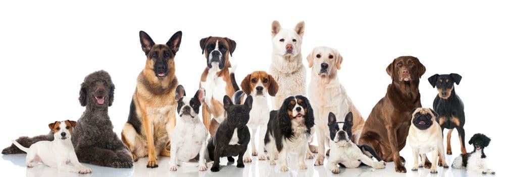 Wie groß ist die Lebenserwartung des Deutschen Boxers im Vergleich zu anderen Hunderassen?