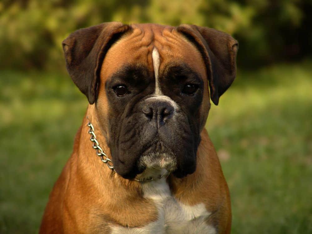 Was ist typisch Deutscher Boxer?