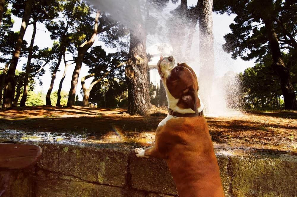 Boxer trinkt an einem Gartenschlauch Wasser im Sommer