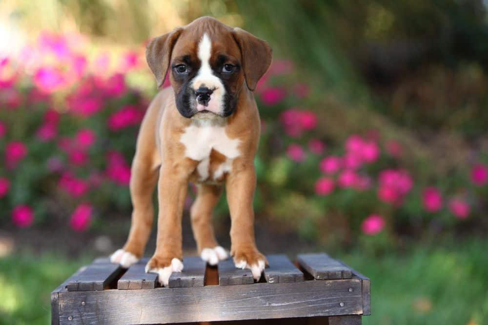 Boxer Welpe steht auf einem Holzhocker im Garten