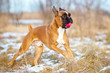german boxer dog playing with ball